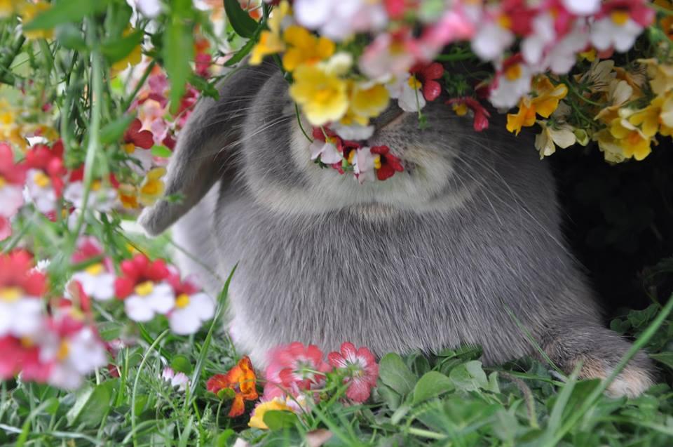 lapinous folie`chons lapins bélier nain loutre feh