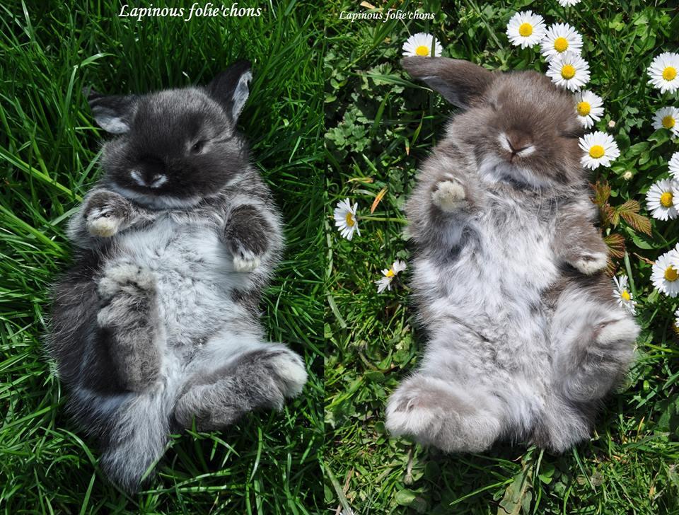 lapinous folie`chons lapins béliers martre brun havane à jarre