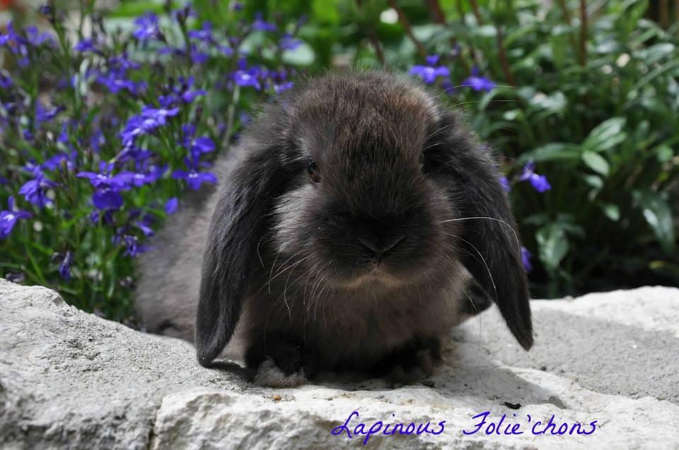 lapinous folie`chons lapin bélier martre brun