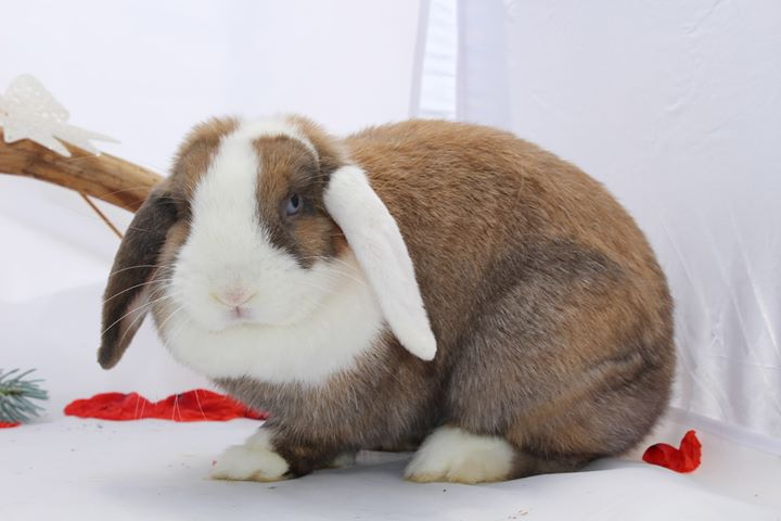 lapine bélier lapinous folie`chons chamois vienna yeux bleus japonais
