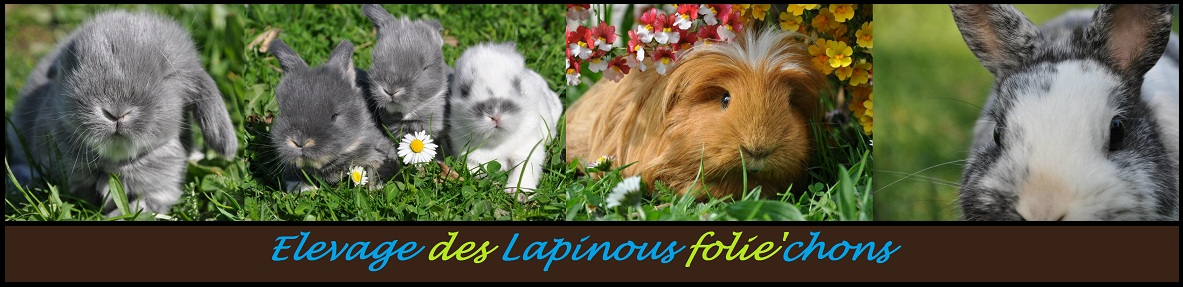 banniere site lapinous folie`chons elevage lapin nain cochons d`inde
